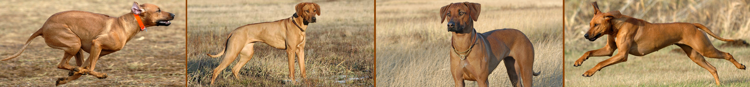Caladesi Rhodesian Ridgeback