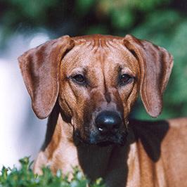Kisangani Cayenne | ♥ 08.04.2002 - † 28.03.2003 | Caladesi Rhodesian Ridgeback
