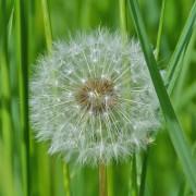 """Neue Allergie-App: """"Husteblume"""" sagt Pollenbelastung vorher und gibt Hinweise zur medikamentösen Behandlung"""