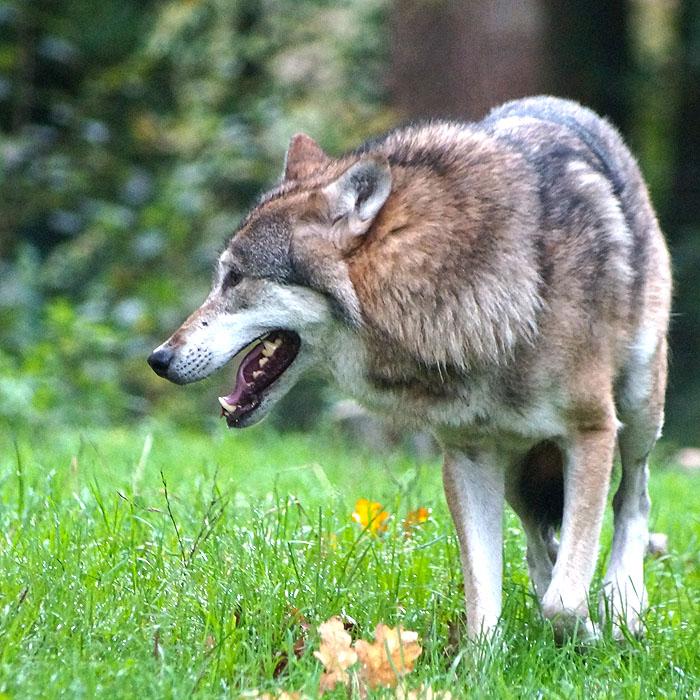 Gelungenes Comeback - Dem Wolf eine Chance geben | Caladesi Rhodesian Ridgeback