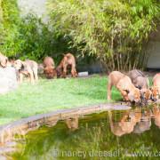 D-Wurf | 8. Woche | Caladesi Rhodesian Ridgeback